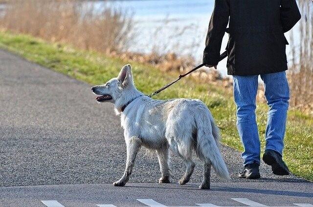 白い犬と散歩する
